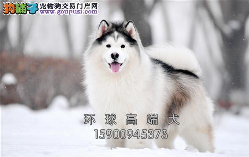 专业繁殖纯种大骨巨型阿拉斯加幼犬送用品