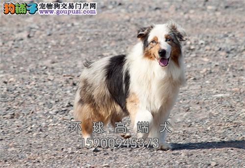 天津便宜出售边牧赛级小幼犬待售全国发货