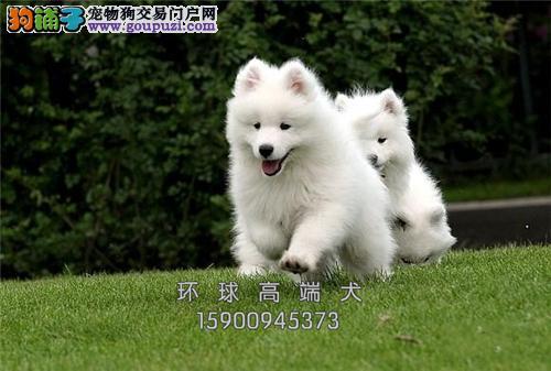 正规犬舍 萨摩耶 保养活 疫苗驱虫已做买狗送用品