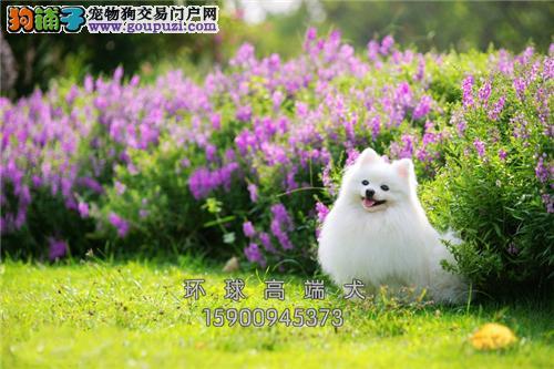 山东博美极品三个月幼犬待售全国发货