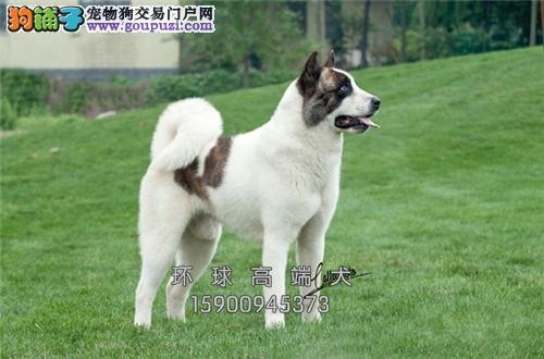 出售纯种秋田犬 保健康 价格实惠