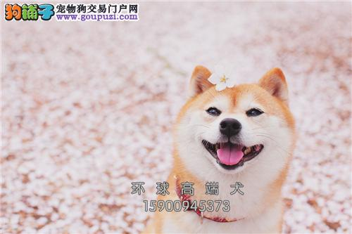 山东出售柴犬可爱日系奶狗包纯种全国发货