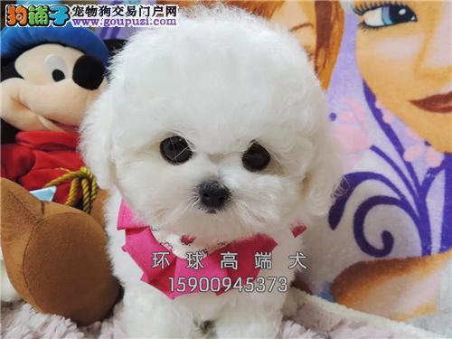 山东犬舍泰迪专业繁殖小体包纯种全国发货