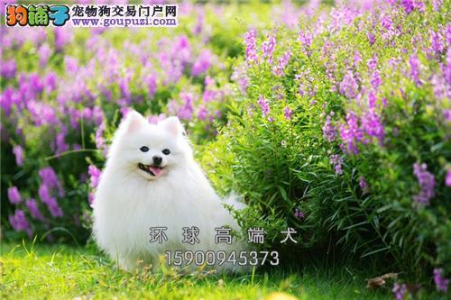 犬舍出售 超可爱博美 健康品质保证