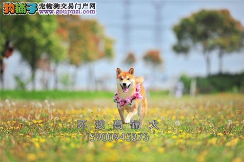 江苏法牛活泼可爱机智幼犬保健康全国发货
