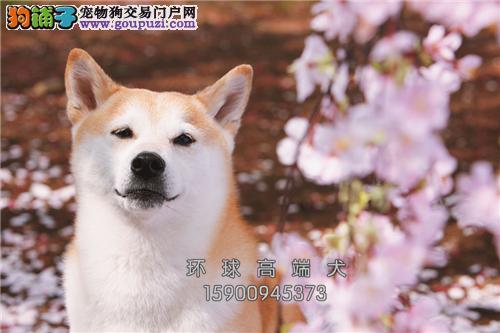 江苏专业繁殖柴犬顶级正宗幼犬全国发货