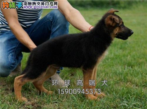 江苏出售德牧低价出售好养小狗狗全国发货