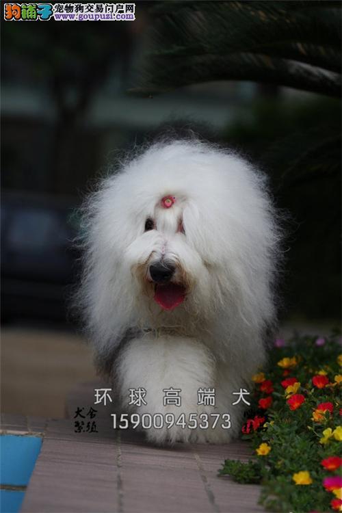 江苏家养边牧帅气自家养犬全国发货