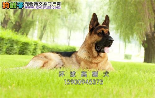 江苏德牧出售乖巧护卫犬疫苗已做全国发货