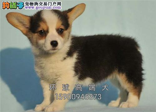 河北柯基极品专业繁殖幼犬待售全国发货