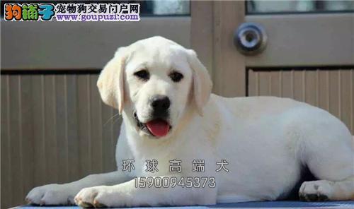 拉布拉多幼犬 可上门挑选 犬舍直售 健康有保障