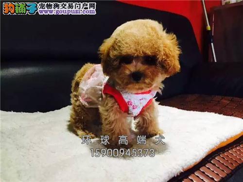 犬舍直销泰迪犬 泰迪幼犬 有公母健康有保证