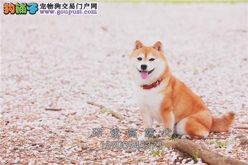 日本纯种柴犬 有公母 可上门 包养活 疫苗已做