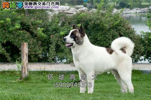 忠犬八公 秋田犬直销幼犬 可上门 有公母 包养活
