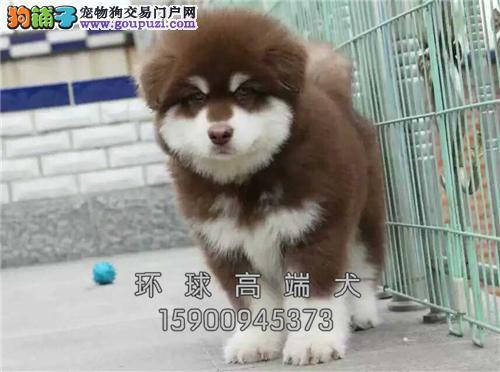 犬舍直售 巨型阿拉斯加犬 幼犬 可上门 疫苗已做