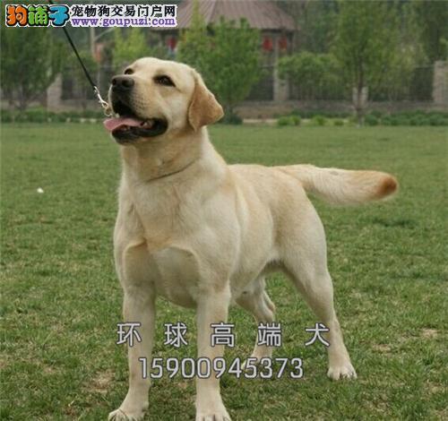 辽宁拉布拉多帅气好养幼犬待售全国发货