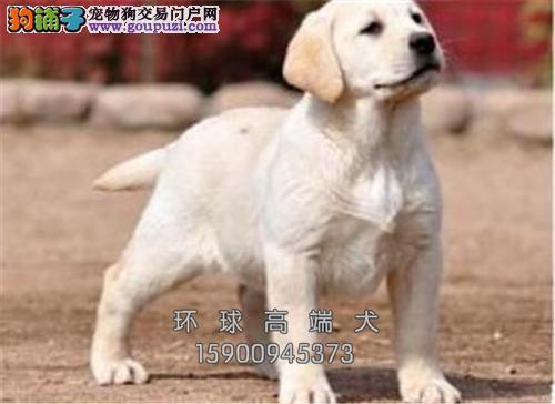 辽宁最大犬舍拉布拉多出售好养全国发货