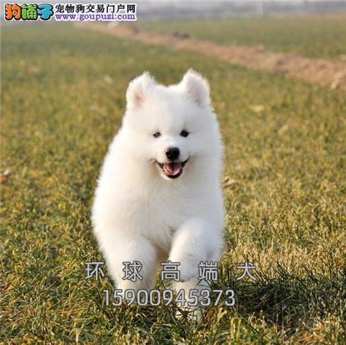 高品质萨摩耶 犬舍直售 可上门挑选 有公母