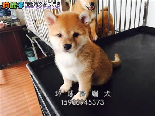 犬舍直售 萌犬柴犬 柴犬幼犬 可上门 疫苗已做