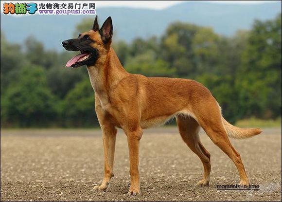 辽宁出售马犬高品相犬上门打折全国发货