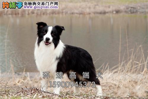 辽宁家养边牧犬送用品带证书全国发货