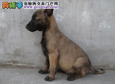 辽宁出售马犬纯种公母均有全国发货