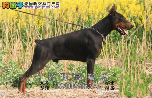 辽宁正规犬舍杜宾包纯种下单有礼全国发货