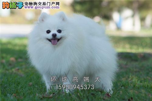 萌宠博美犬 冠军品质繁育 质保终身签订协