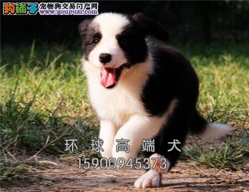 辽宁边牧活泼可爱宽鼻线幼犬全国发货