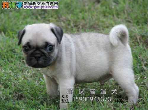 湖北出售巴哥高品质狗狗公母均有全国发货