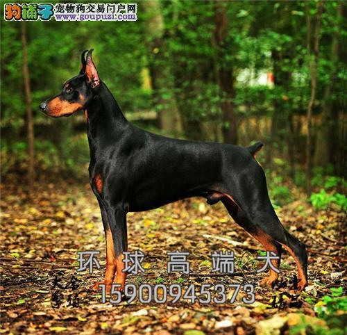 湖北最大犬舍杜宾顶级乖巧包纯种全国发货