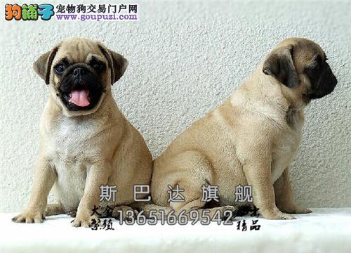 cku认证 犬舍直销 半价精品狗狗 可上门 纯种巴哥犬