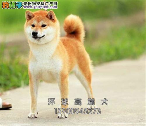 福建柴犬漂亮健康黑鼻子保健康全国发货