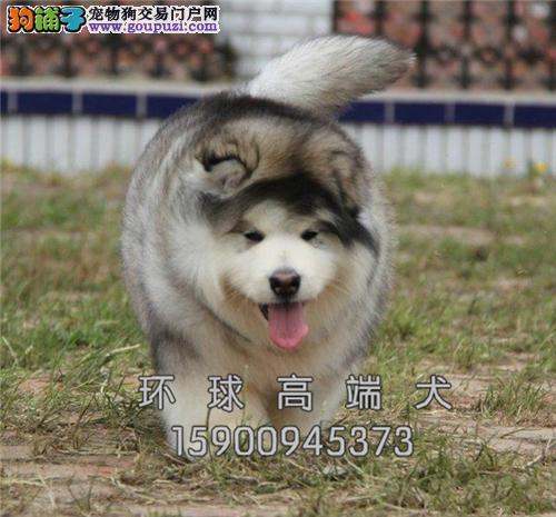 福建阿拉斯加熊版幼犬驱虫已做全国发货