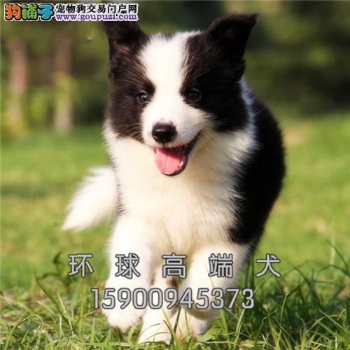 #繁殖基地 出售纯种 边牧犬 保证健康3个月退换