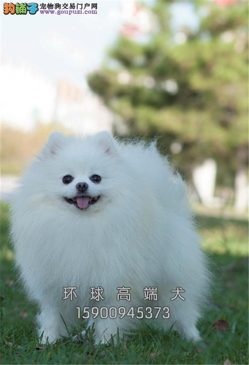 福建博美好养小犬全国包运全国发货