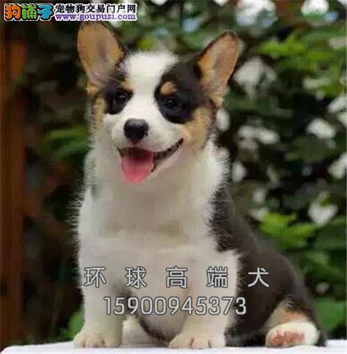 福建家养柯基纯种健康威尔士犬全国发货