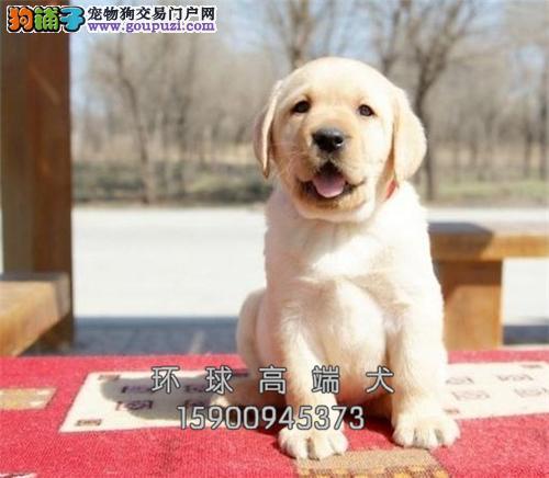 最佳伴侣犬 拉布拉多 、专业繁殖、品质保证、实物
