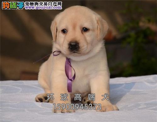 福建家养拉布拉多带证书幼犬待售全国发货