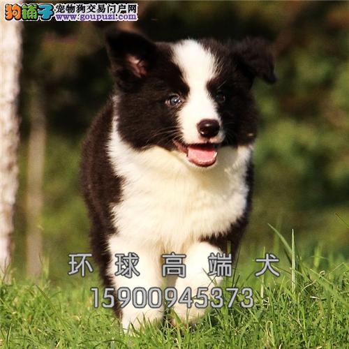 福建便宜出售边牧赛级小幼犬待售全国发货