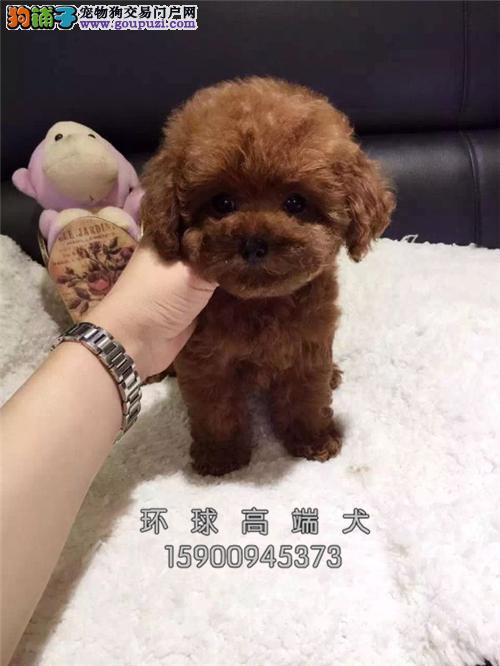 韩系 娃娃脸 泰迪犬 口袋茶杯泰迪熊狗 超小体