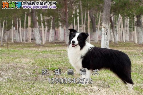 云南家养边牧犬送用品带证书全国发货