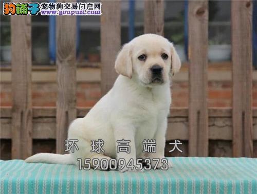 云南最大犬舍拉布拉多聪明犬全国发货