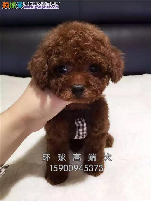 云南泰迪赛级幼犬疫苗已做全国发货