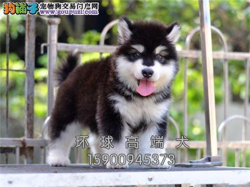 云南阿拉斯加熊版狗狗疫苗已做全国发货