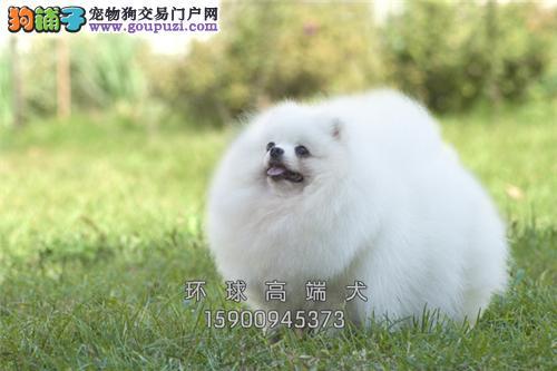 云南最大犬舍博美球形上门打折全国发货