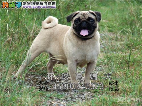 云南巴哥纯种漂亮狗狗送用品全国发货