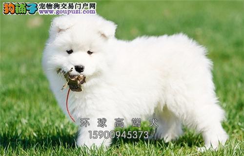 云南最大犬舍萨摩耶出售纯白全国发货