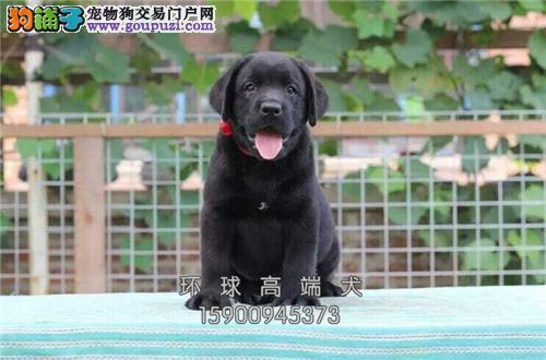 出售精品拉布拉多犬保纯种健康 体型好结构好