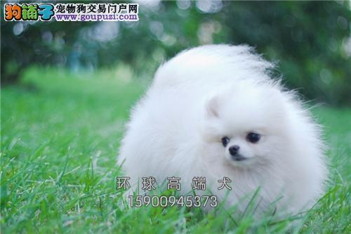 湖南博美好养小犬全国包运全国发货